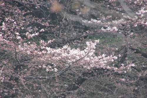 20170330千鳥ヶ淵の桜1.JPG