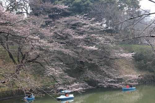 20170330千鳥ヶ淵の桜2.JPG