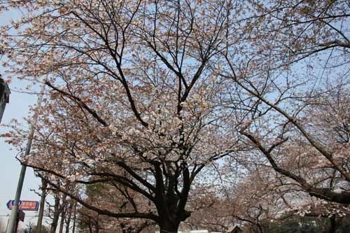 20170330千鳥ヶ淵の桜3.JPG