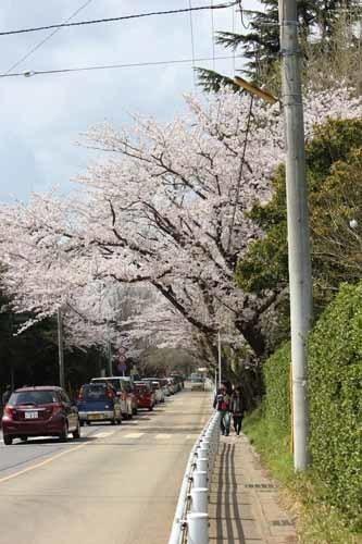 佐倉城の桜風景01.JPG