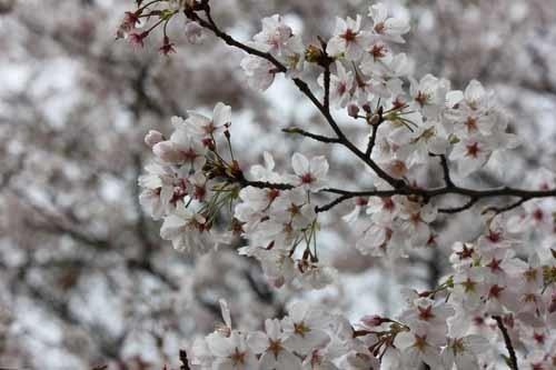 佐倉城の桜風景03.JPG