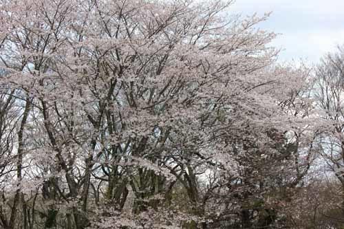 佐倉城の桜風景04.JPG