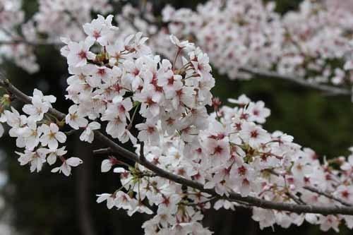 佐倉城の桜風景05.JPG
