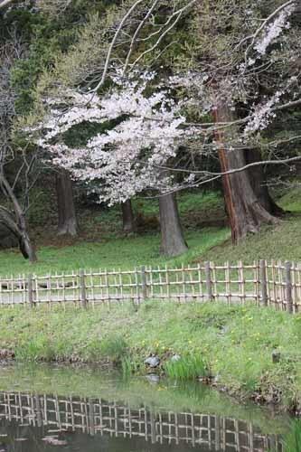 佐倉城の桜風景06.JPG