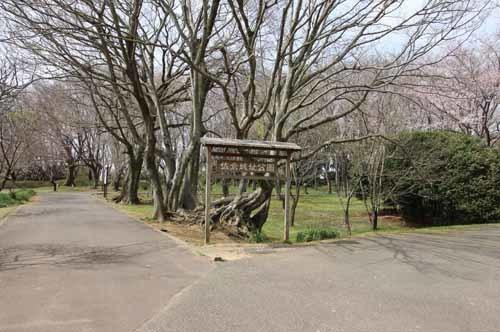 佐倉城の桜風景08.JPG