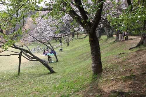 佐倉城の桜風景09.JPG