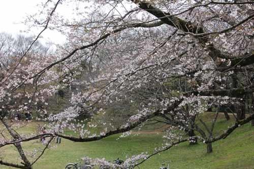 佐倉城の桜風景10.JPG