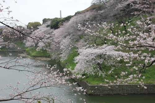 江戸城・千鳥ヶ淵の桜風景1.JPG