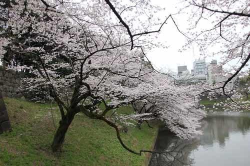 江戸城・千鳥ヶ淵の桜風景2.JPG