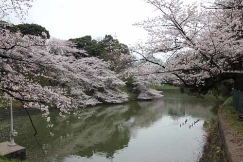 江戸城・千鳥ヶ淵の桜風景4.JPG