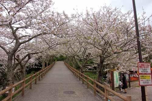 舘山城の桜5.JPG